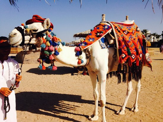 Mercure Hurghada Hotel : Max the camel on the beach