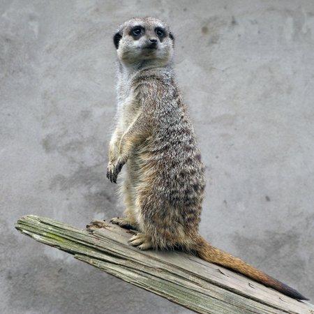 The Lake District Wildlife Park: Meerkat at Trotters Wild Animal Park
