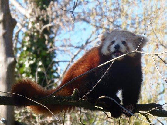 Zoo La Boissière du Doré: le panda