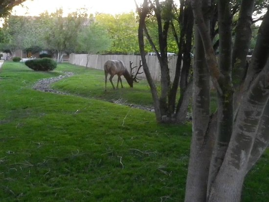 Best Western Premier Grand Canyon Squire Inn : male elk in grounds