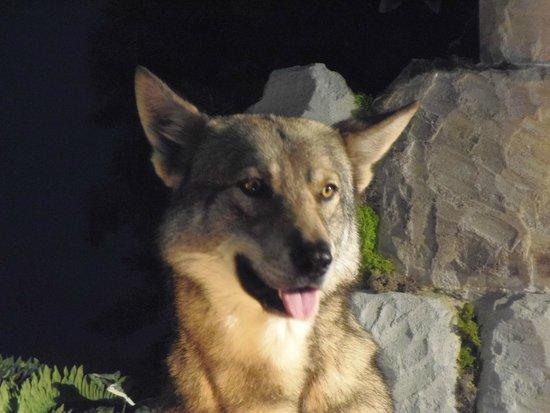 Sentier des Daims: Chien loup