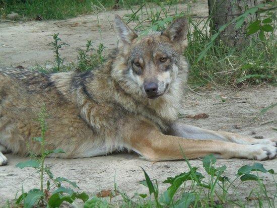 Sentier des Daims: loup