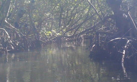 Almost Heaven Kayak Adventures: In the mangrove tunnel