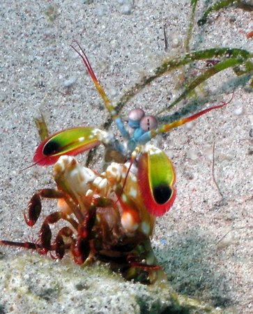 Blue Ribbon Dive Resort : Mantis Shrimp