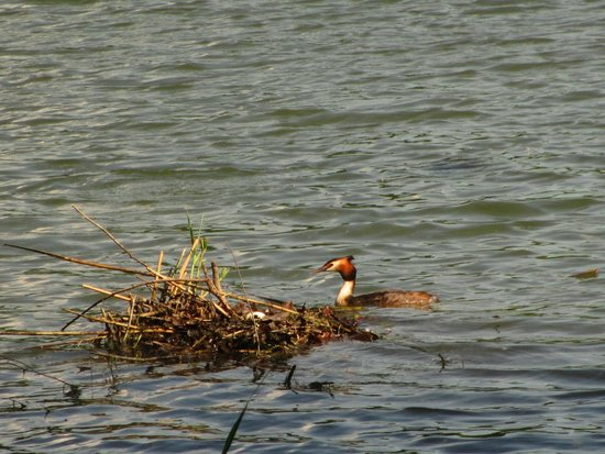 Zamek Lednice: I think this is a female Red-breasted Merganser and her nest with a couple eggs in it!  Viewed o