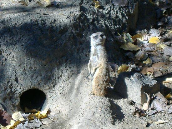 Memphis Zoo: Meerkat