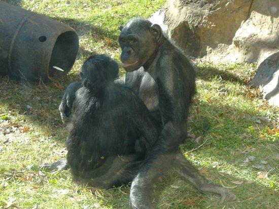 Memphis Zoo: Chimps