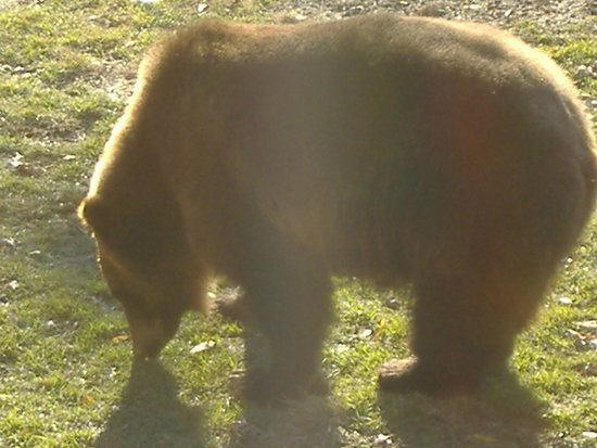 Memphis Zoo: Brown Bear