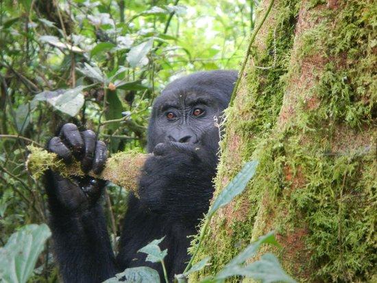 Bwindi Impenetrable National Park : Bwindi gorillas, day two