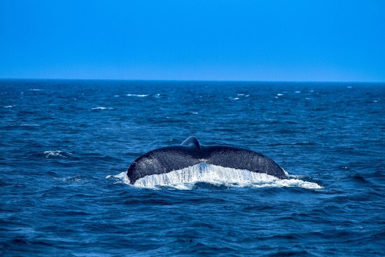 Dolphin Fleet Whale Watch: Humpback