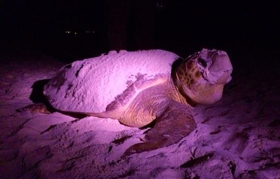 Cabanas La Luna: Turtle season - this big mama cam up just in front of the hotel to lay her eggs