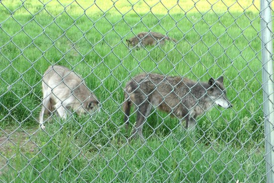 Howlers Inn Bed & Breakfast and Wolf Sanctuary: Ask the owners about each wolf's history and personality!