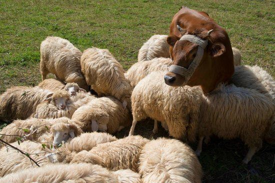 Rilindja Hotel: Right outside the door of Residence is a small herd of sheep and their buddy - a cow