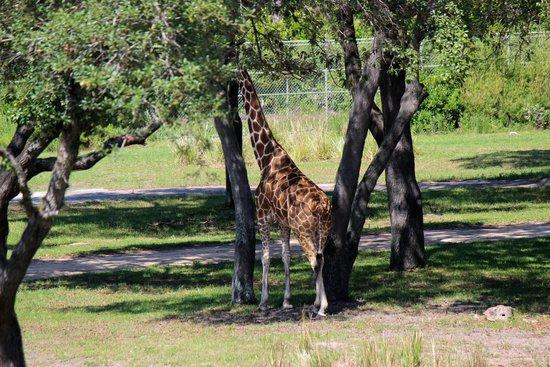 Disney's Animal Kingdom Lodge : Savannah view from room balcony