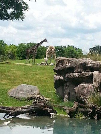 Busch Gardens : Giraffes