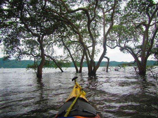Bahia Rica Fishing and Kayak Lodge: Mangroves