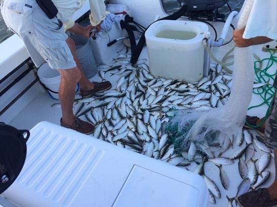 Morningstar Marina at Golden Isles - Boat Rentals: Bait fish