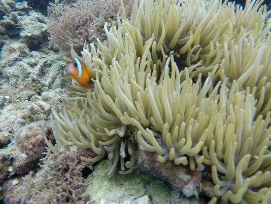 "Koro Sun Resort and Rainforest Spa: ""Nemo"" snorkelling at Koro Sun Resort"