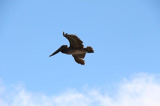 Margo Dodd Park: Pelican in flight