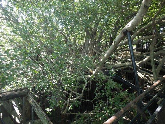 Maison arboricole d'Anping : こんな感じで侵食されています