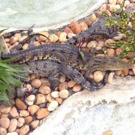 Mayan Palace Riviera Maya : Crocodile habitat on property