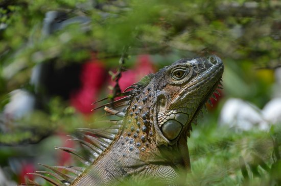 The Royal Corin Thermal Water Spa & Resort: Friendly Iguana on Grounds