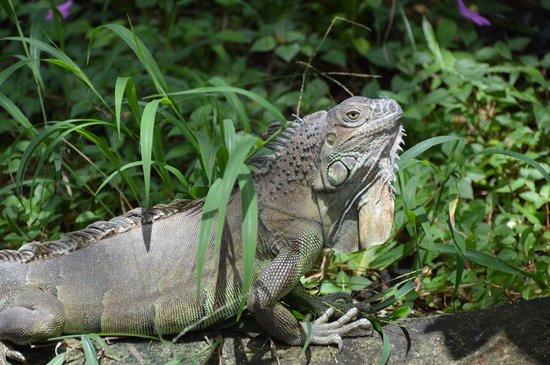 The Royal Corin Thermal Water Spa & Resort: Iguana