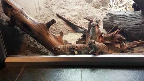 Woodland Park Zoo : Meerkats