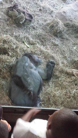 Woodland Park Zoo: Gorilla