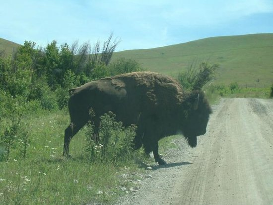 National Bison Range: This is one of the bison that strolled across the road.