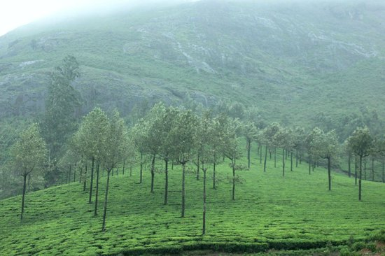 Tea Valley Resort: tea plantations