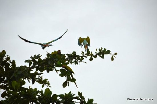 Mawamba Lodge: Macaws in Flight