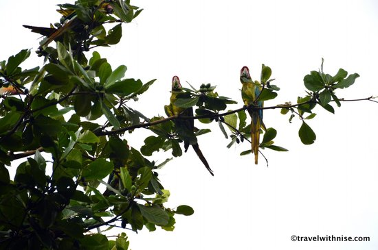 Mawamba Lodge: Macaws in almond tree