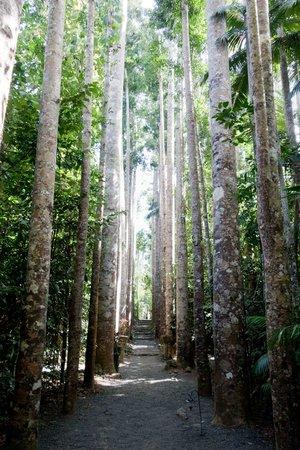 Paronella Park: kauri pines