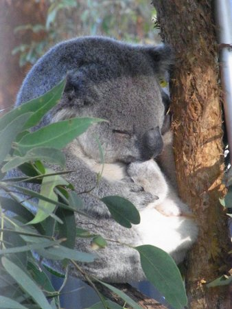 Koala Hospital: Sleeping patient