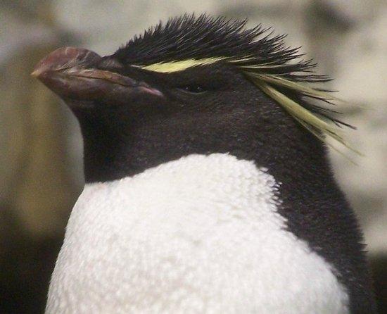 Shedd Aquarium: Rockhopper penguin at the Shedd