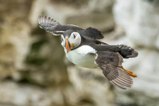 RSPB Bempton Cliffs: Puffin