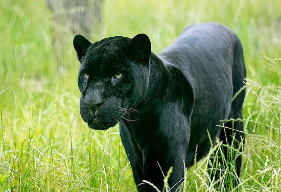 Oradea, Romania: Black jaguar male