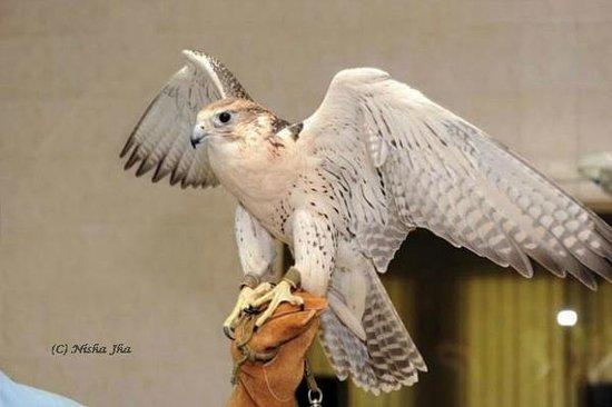 Abu Dhabi Falcon Hospital: Falcon