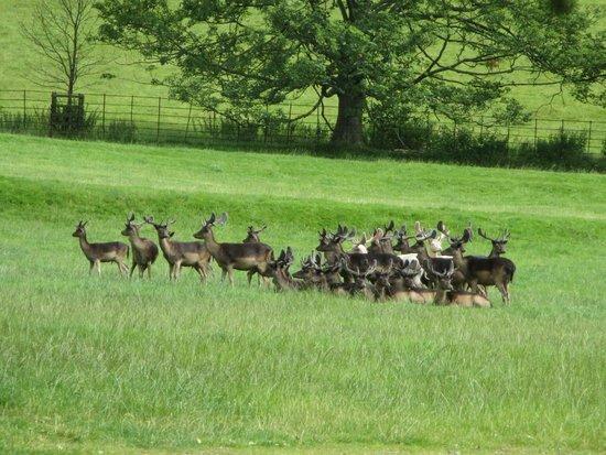 Raby Castle: Being greeted by the herd of deer