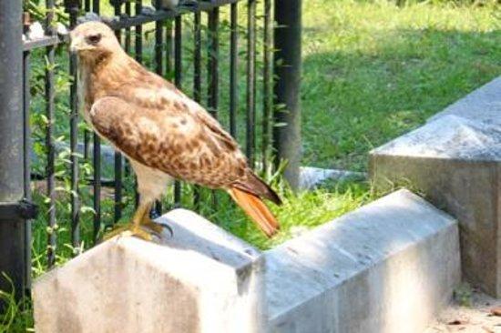 Bonaventure Journey's w/Shannon Scott: Red-tailed Hawk visiting Gracie