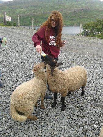 Killary Sheep Farm: Feeding time!