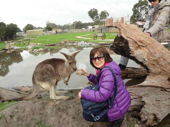 Maru Koala and Animal Park: kangaroo