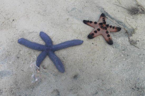 star fishes you can find in bulabog beach