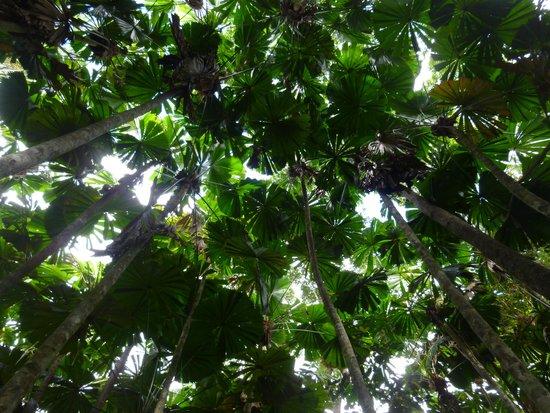Daintree National Park: Fan Palms in Daintree National Forest