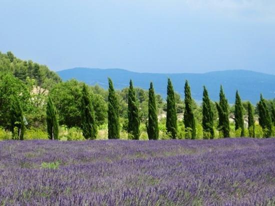 Camping la Couteliere : Lavender fields near Roussillon