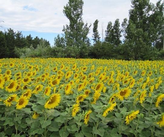Camping la Couteliere : Sunflowers near Lagnes