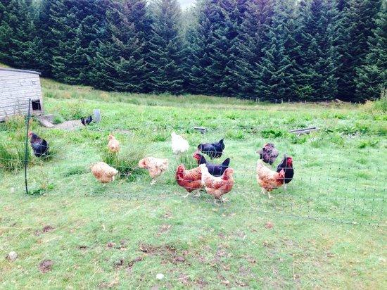 Ewich House : Hens