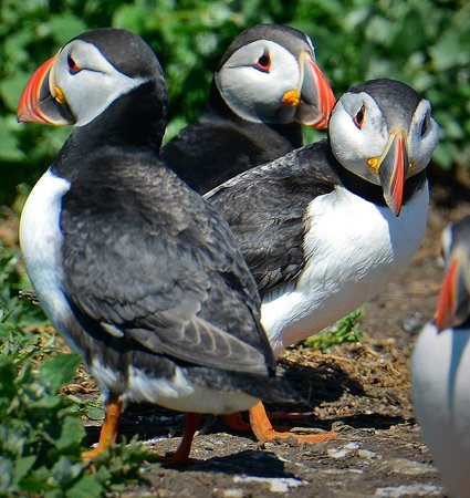 Serenity Farne Island Boat Tours: The locals came out to greet us.