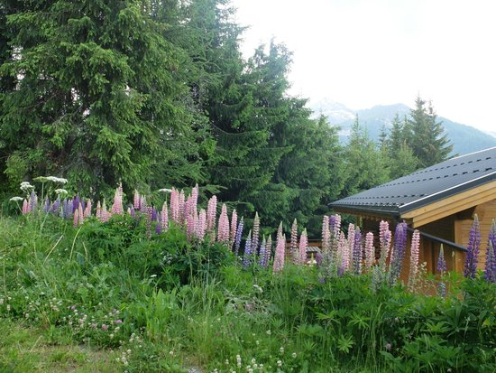 Club Med Peisey-Vallandry : lupins